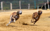 The Truth About Greyhound Racing